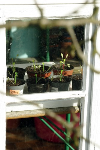 Keimende Gemüsepflanzen im Gewächshaus