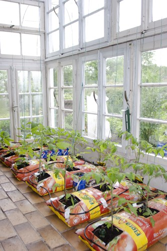 Tomaten in Säcken mit Tropfbewässerung
