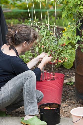 tomatensugo Tomatenernte topf