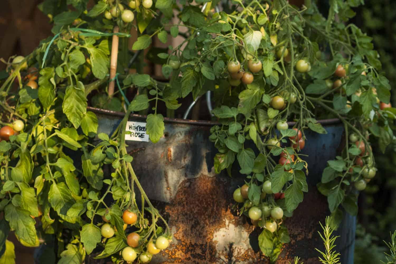Meine bewährte Top Five Tomatenliste, Sortenbeschreibung, Aussehen, Geschmack, und optimale Verwendungsmöglichkeit, mit Rezeptvorschlägen.