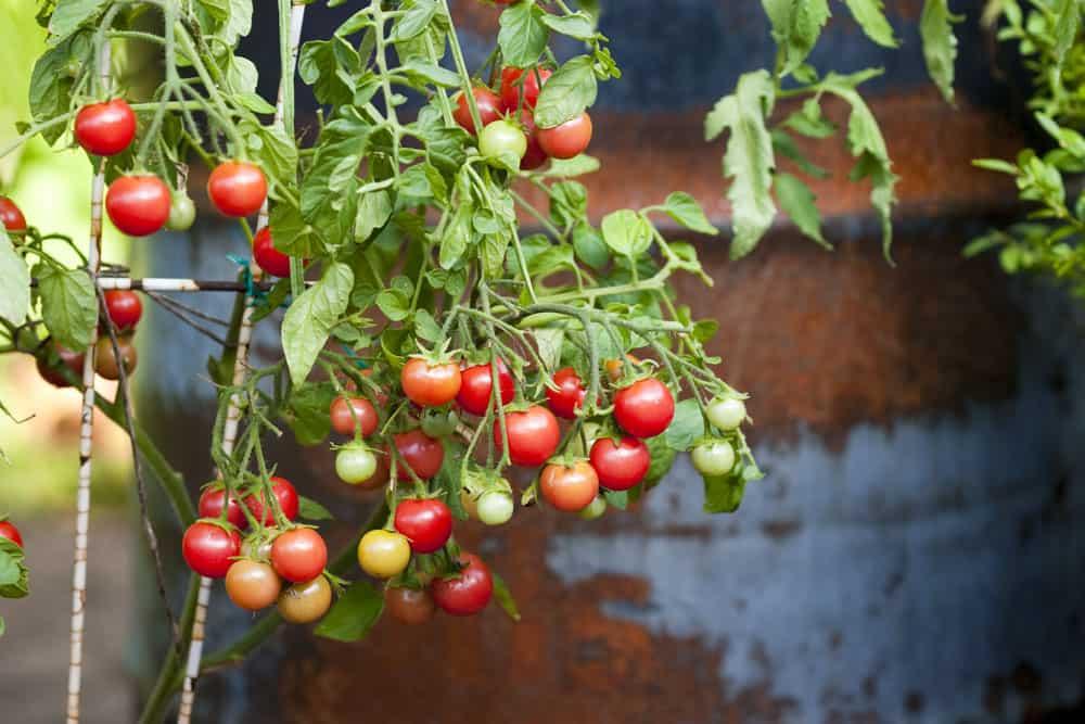 Meine bewährte Top Five Tomatenliste: Himbeerrose, kleine Hängetomate mit sehr früher Erntezeit (ab Juni)