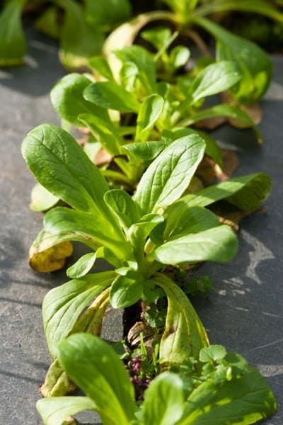 Salat rund ums Jahr ernten