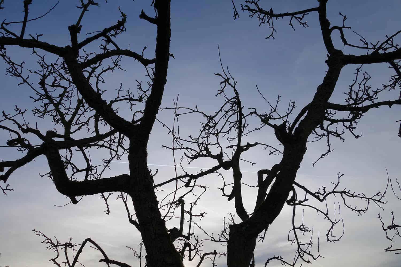 Wasserschosser Vermeiden Baumschnitt Obstbaumschnitt