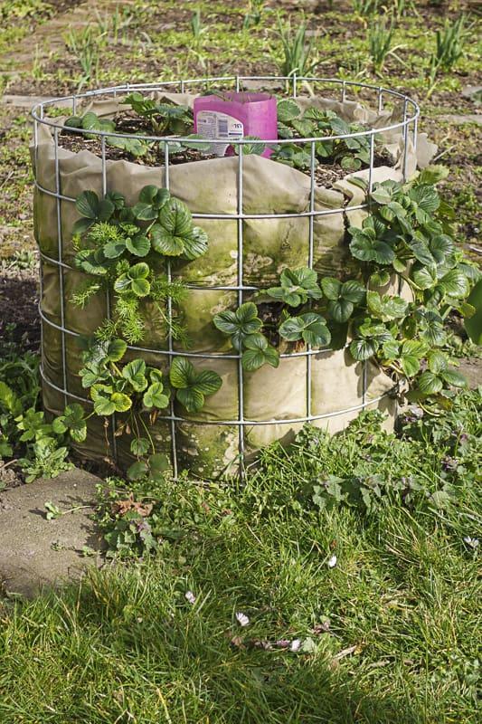 Anleitung Erdbeerturm: wir haben einen Erdbeerturm aus einer Estrichmatte gebaut und testen so auf wenig Platz die neue Erdbeersorte Mieze Schindler Nova.