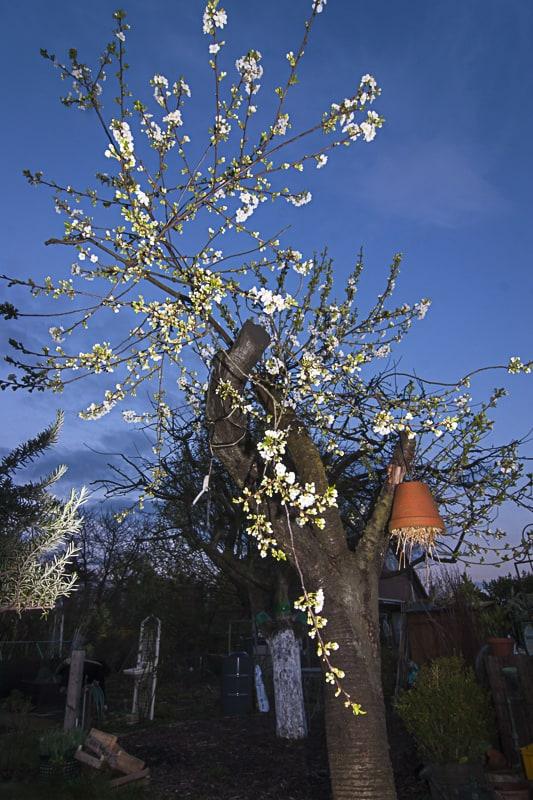 blühender Kirschbaum nach Rückschnitt