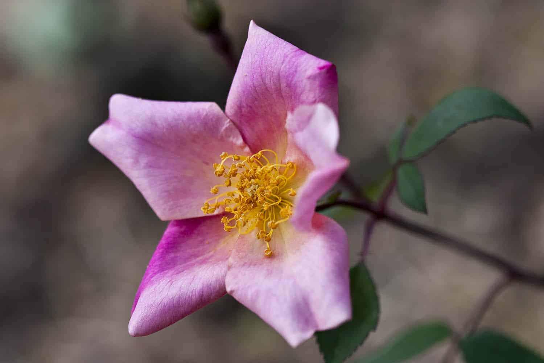 rosen schneiden