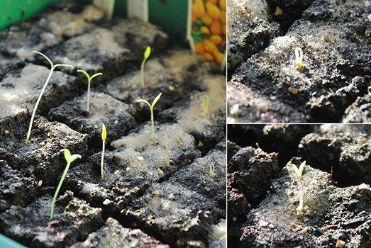 Gemüsepflanzen Keimlinge