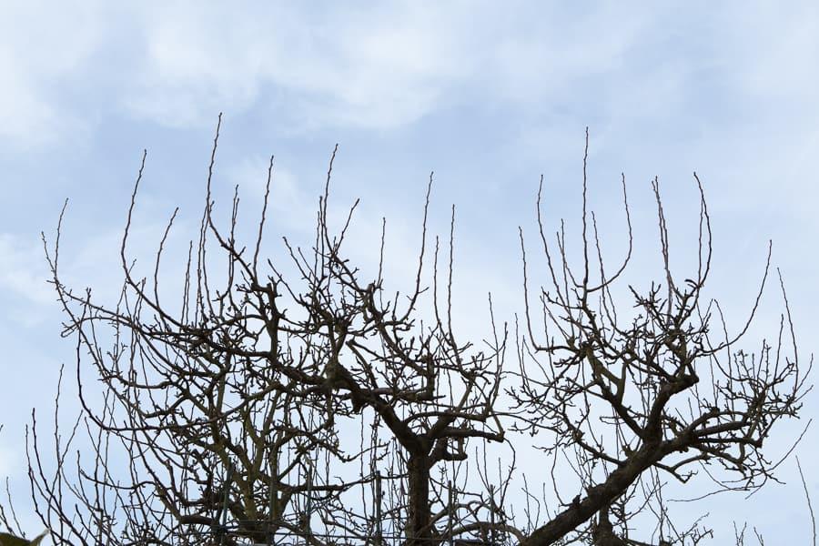 Birnbaum mit vielen Wasserschossen