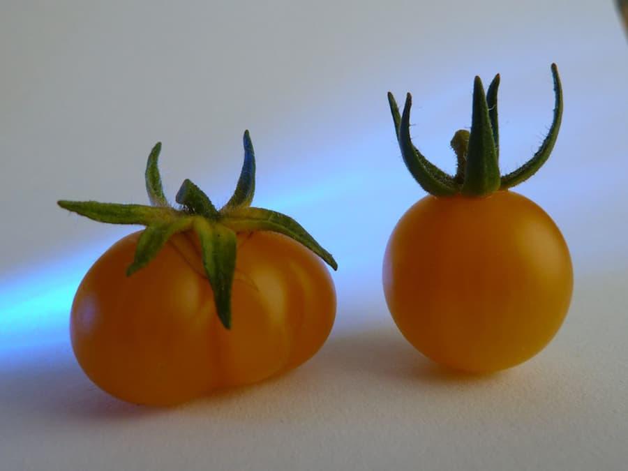 Mein Gartenjahr in zwölf Bildern Tomaten