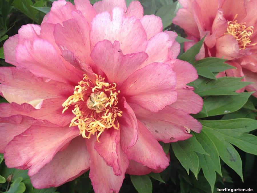 Mein Gartenjahr in zwölf Bildern Paonie Hillary im Mai
