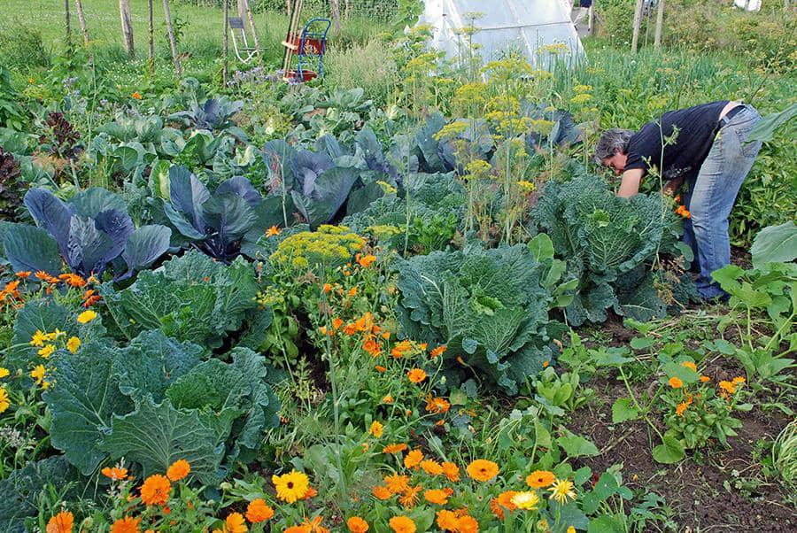 Mein Gartenjahr in zwölf Bildern riesige Kohlköpfe im Juli