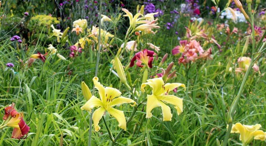 Mein Gartenjahr in zwölf Bildern Taglilien im Juli