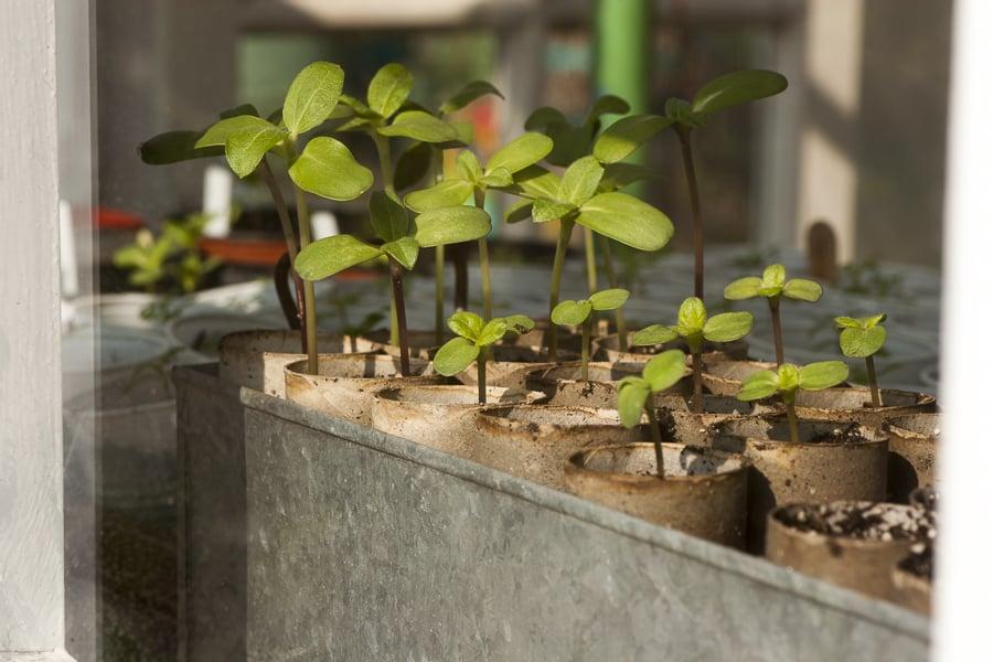 junge Sonnenblumen Pflanzen