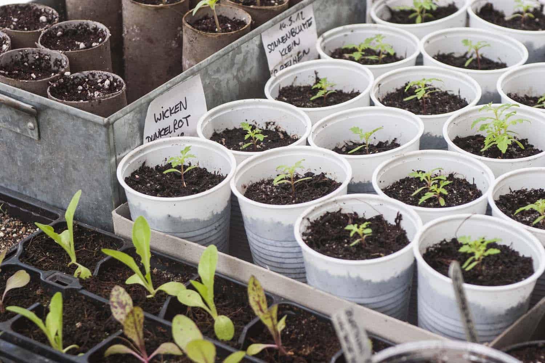 Pflanzen vorziehen im Februar. Wer besondere Gemüsesorten ernten will muss selbst aussäen. Auberginen, Chili und Paprika-Pflanzen kann man schon im Februar auf der Fensterbank vorziehen.