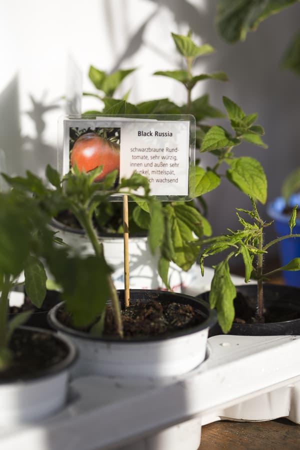 Tomatenpflanzen sortenecht Black Russia