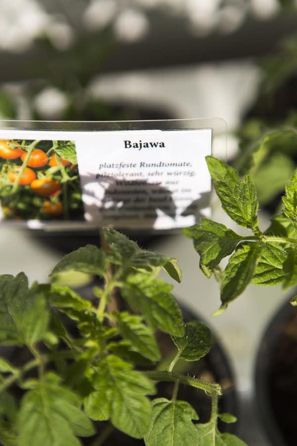 Tomatenpflanzen sortenecht Bajawa