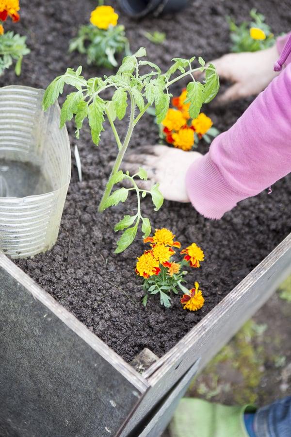 Tapetes halten Bodenälchen fern