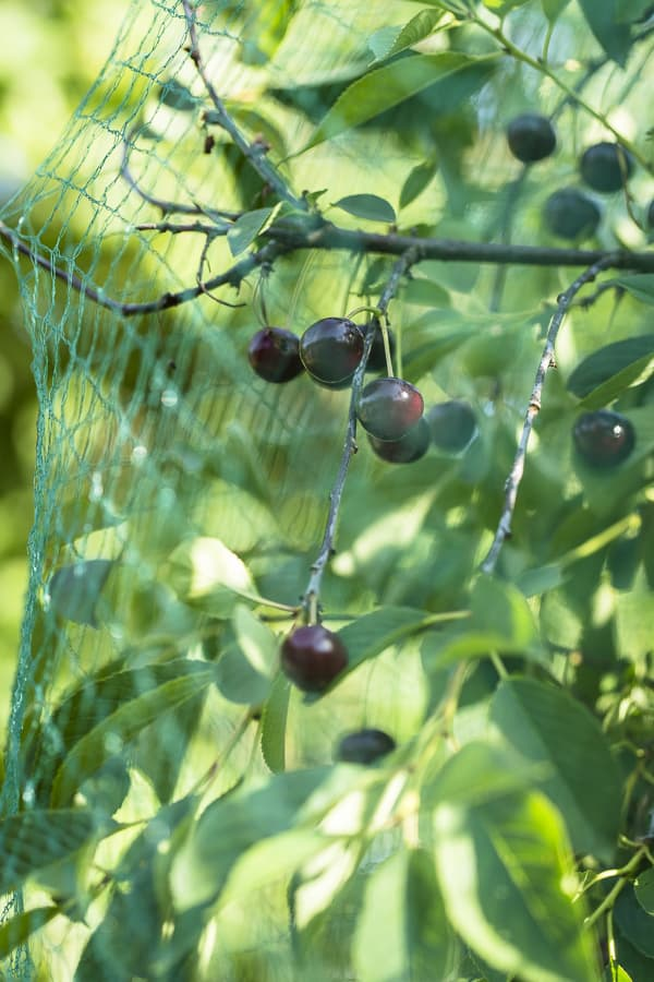Sauerkirschen mit Vogelschutznetz