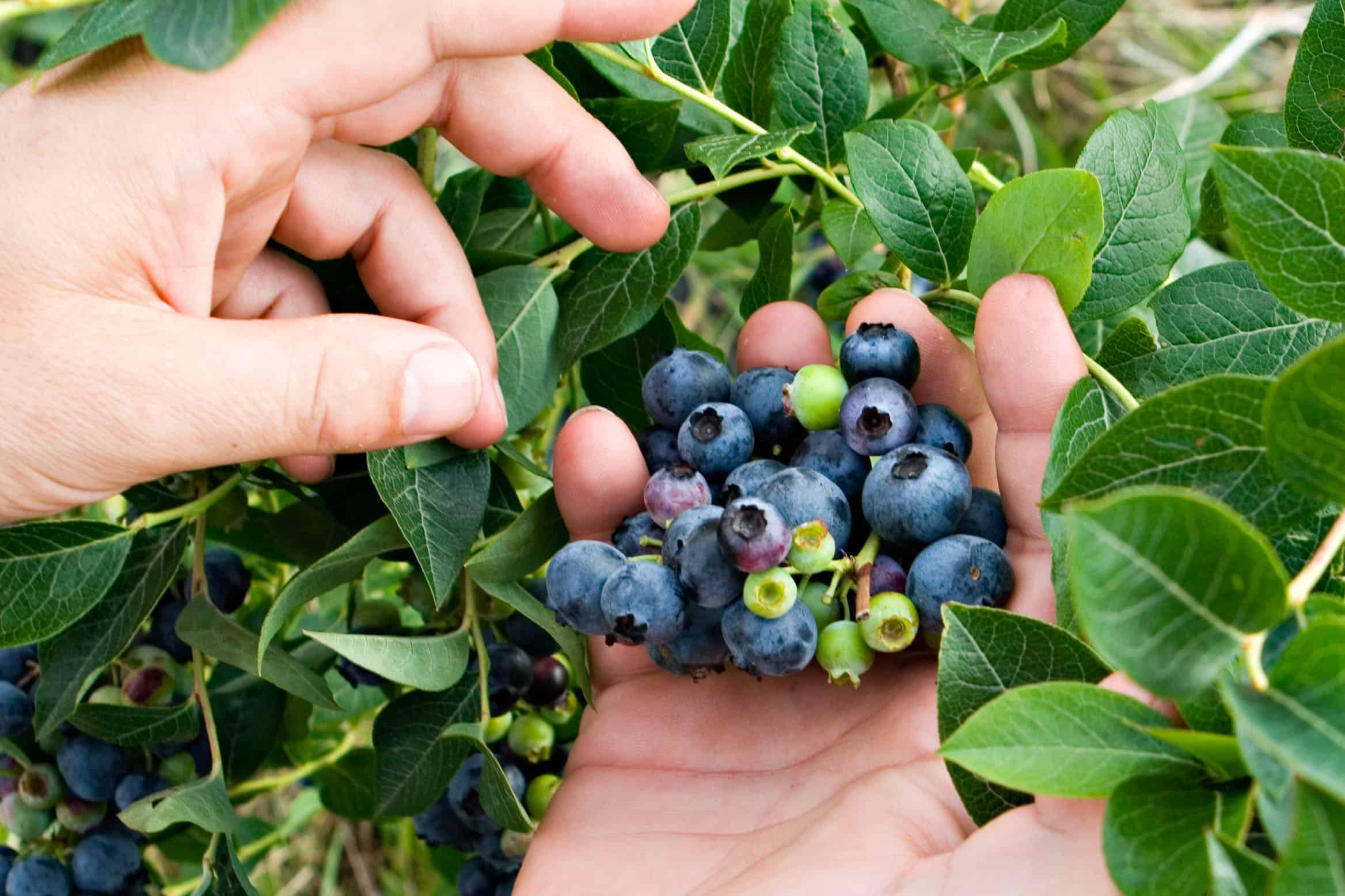 Heidelbeeren im Garten pflanzen - das brauchen die säureliebenden Beeren