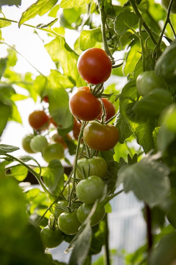 Gemüse in Töpfen anbauen Tomaten im Tomatenhaus