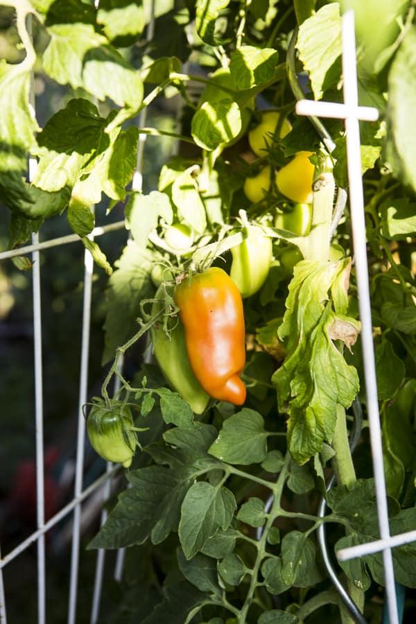 Tomaten im Tomatenfass, Andenhorn und weißer Pfirsich