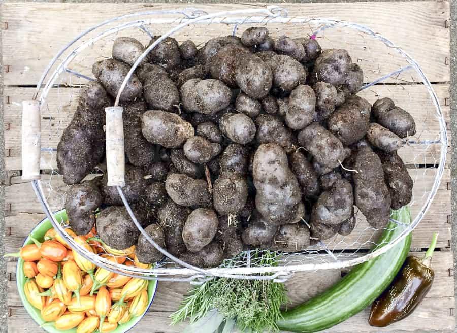 blaue Kartoffeln, Äthiopische Eierfrucht, gurke, Kräuter