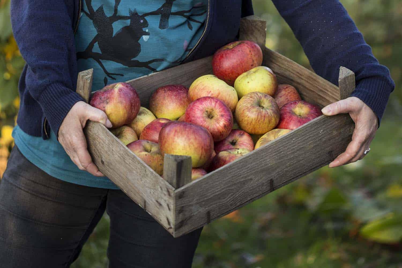 Kiste voll frisch geernteter Äpfel
