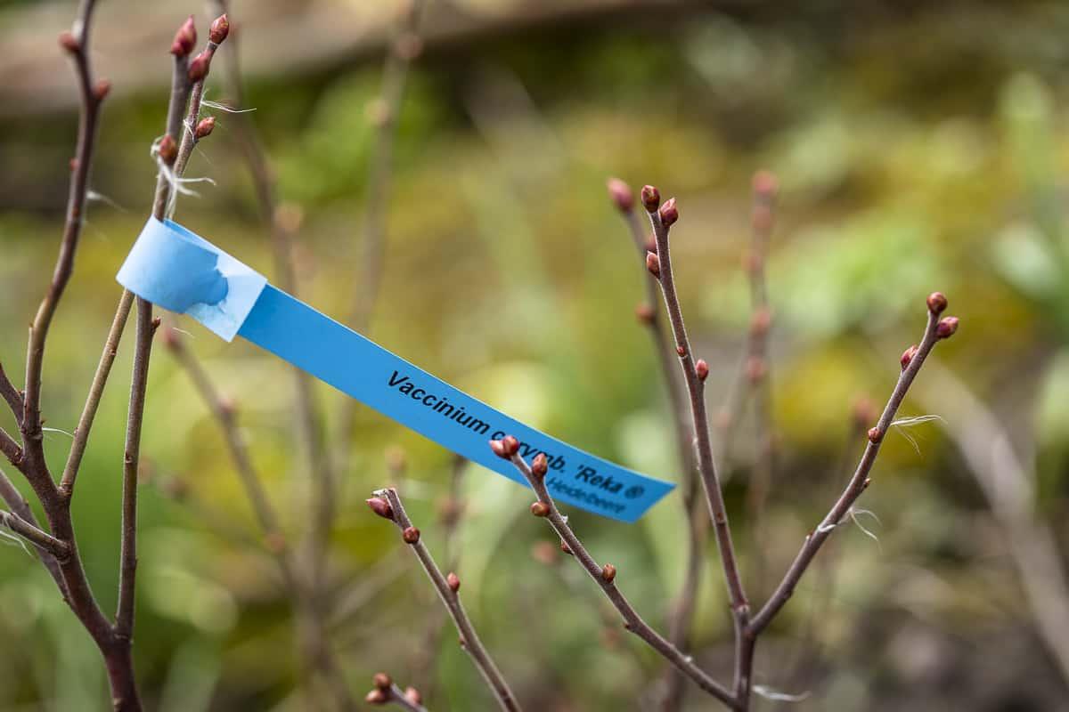 blauberren pflanzen - so legt man ein Heidelbeerbeet an