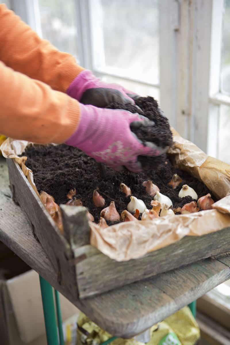Tulpen in Töpfen vorziehen. Bequem gepflanzt. Vor Wühlmäusen geschützt. Später mitsamt den Töpfen im Garten verteilt. Garantiertes Blumenmeer.