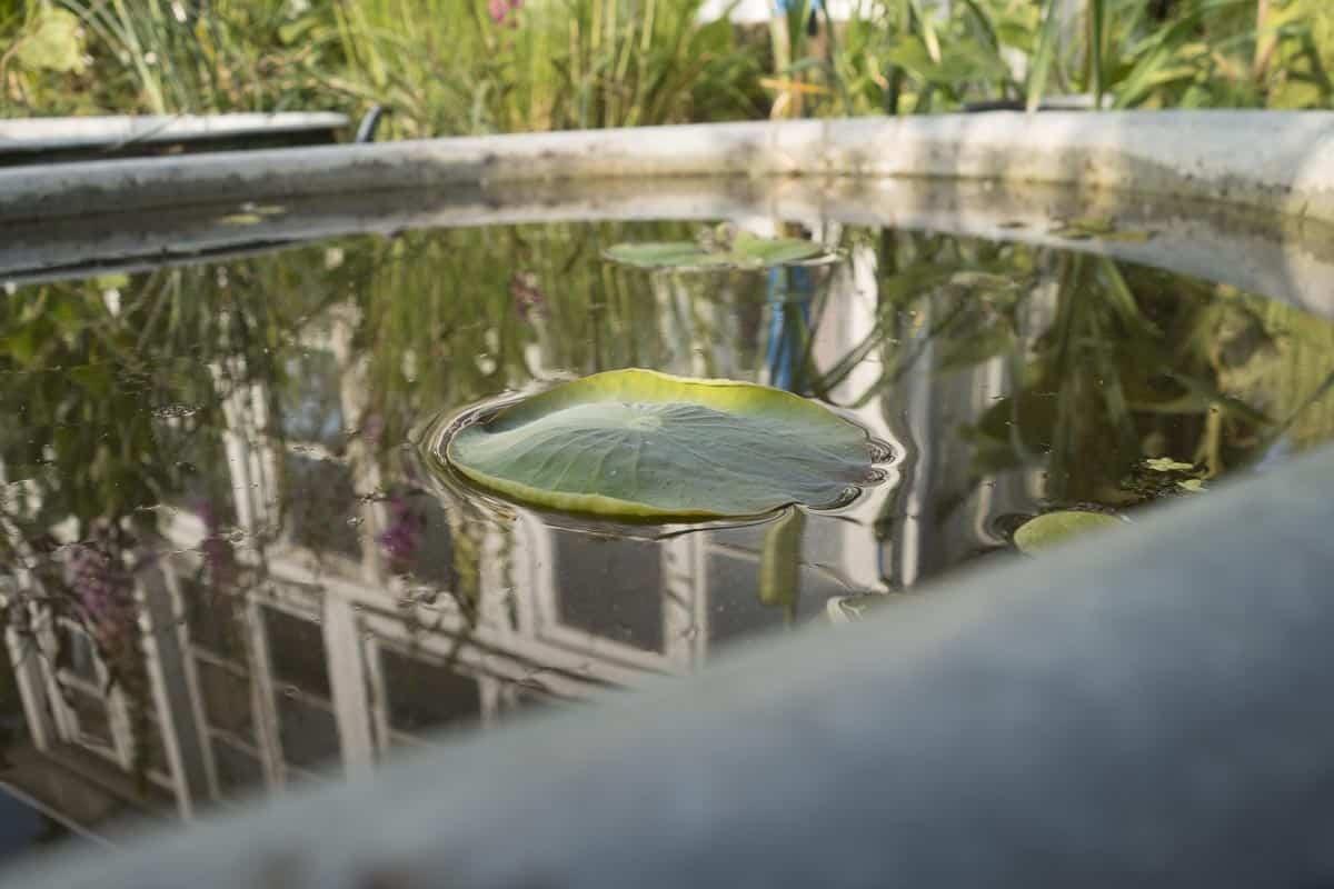 Teich mit Lotusblume