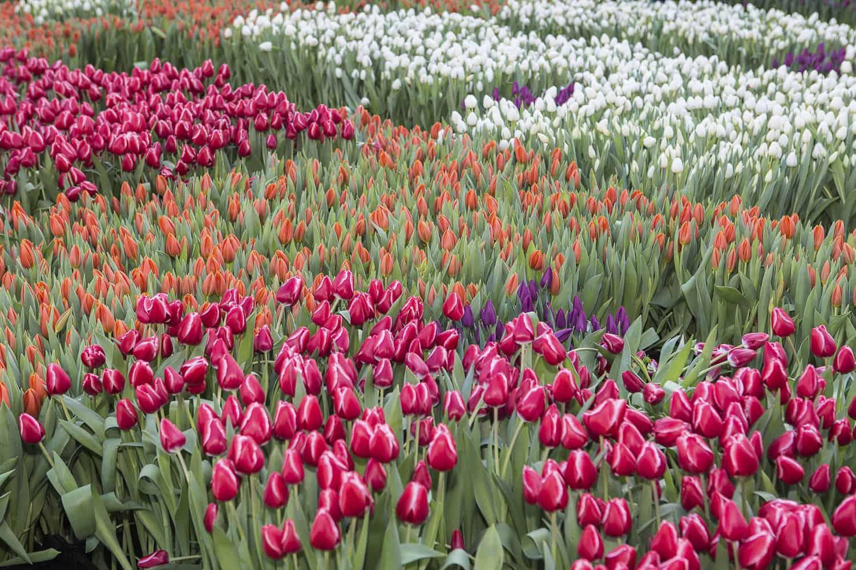 tulpen saisonbeginn