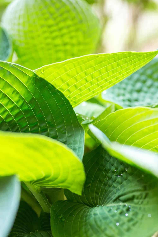 Funkien-Blätter im Gegenlicht