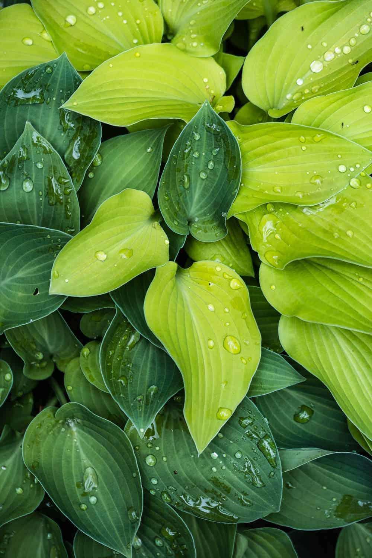Mini- Funkien mit Regentropfen