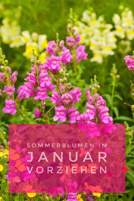 Einjährige Sommerblumen vorziehen - für mehr Wow im Garten