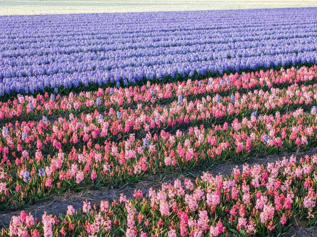 hyazinten tulpenparadies holland