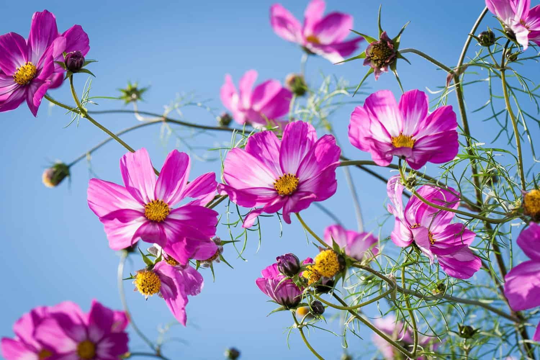 Sommerblumen vorziehen Causen