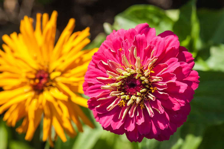 Sommerblumen vorziehen Zinnie