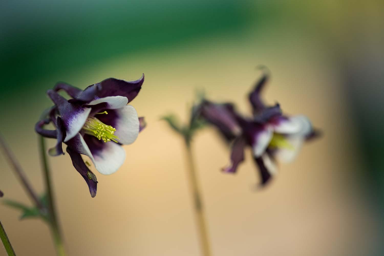 akelei blüte zweifarbig
