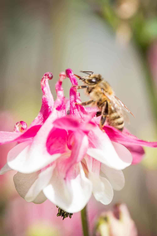 Akeleien (Aquilegia) verzaubern im Mai mit elfengleichen Blüten. Sie haben wenig Ansprüche an den Standort und vermehren sich von alleine.