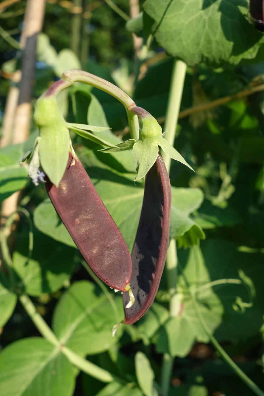 Gemüse für Anfänger: Zuckererbsen dürfen in keinem Anfänger Gemüse-Garten fehlen