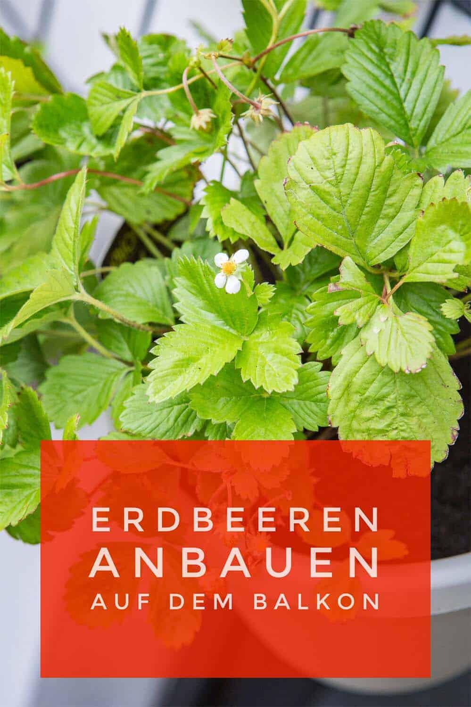 Gemeinsame Erdbeeren auf dem Balkon - mit Pflanz-, Pflege- und Sortenvorschlägen #SY_22