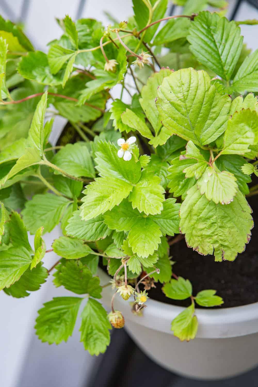 Erdbeeren auf dem balkon - Krautergarten auf dem balkon ...
