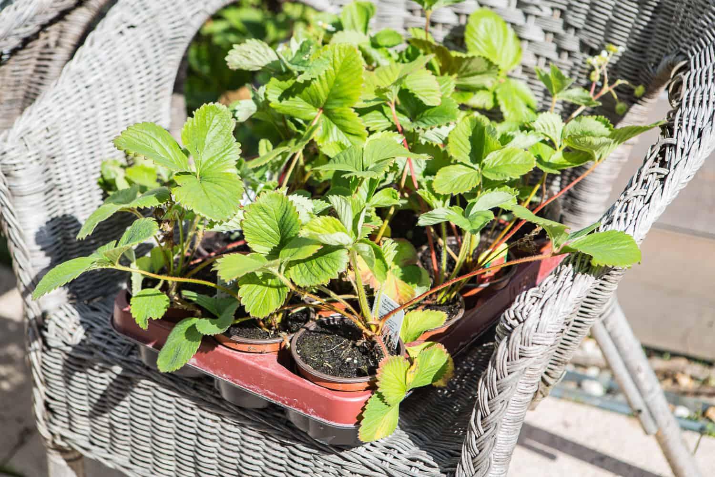 Super Erdbeeren auf dem Balkon - mit Pflanz-, Pflege- und Sortenvorschlägen &MN_76