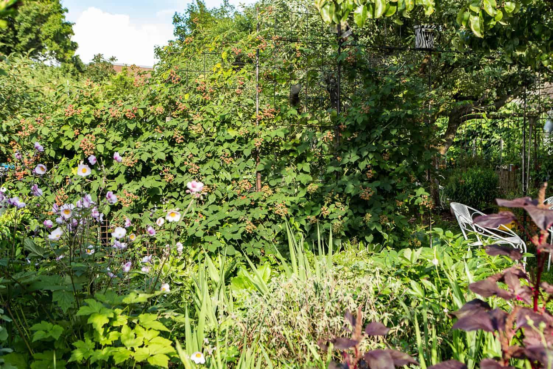 Sichtschutz im Garten Brombeerhecke