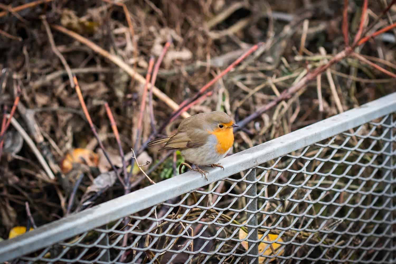vogelfutter selber machen Rotkehlchen