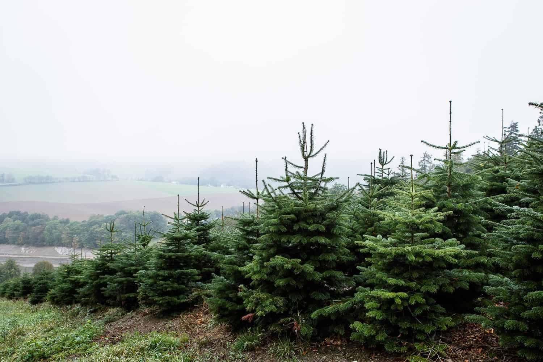 Weihnachtsbaum aus der Region