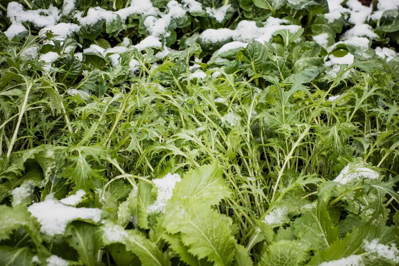 Gartenjahr im Rückblick Wintersalat