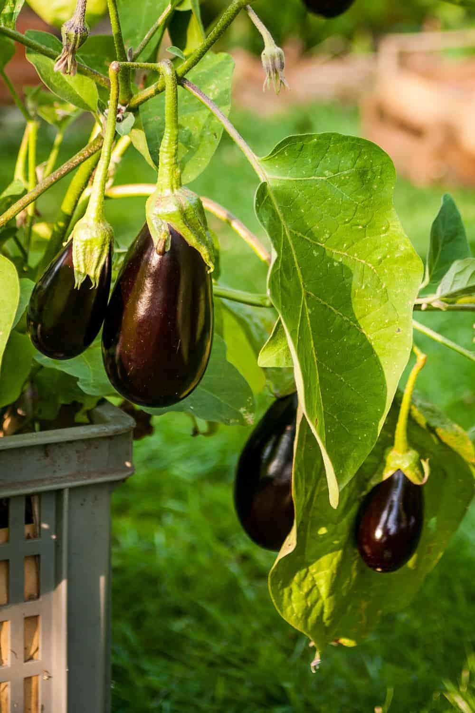 Auberginen Aussat Pflanzen Pflegen