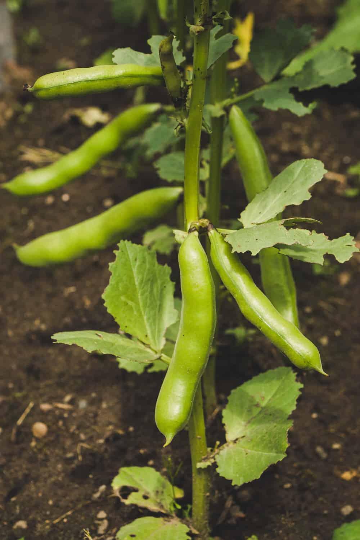 dicke Bohnen anbauen