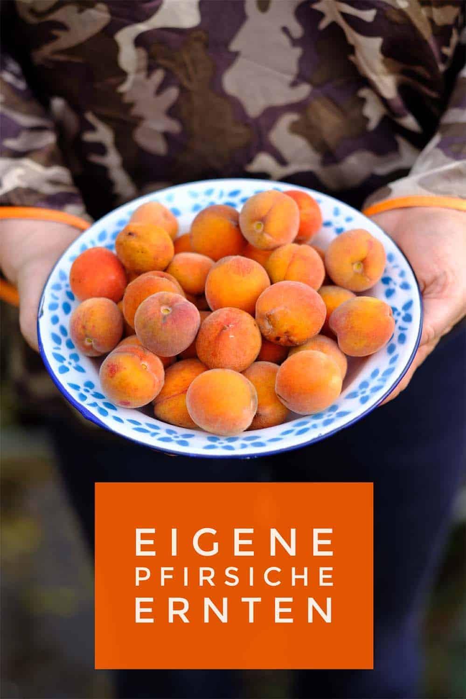 Pfirsiche aus dem eigenen Garten ernten - das klappt nicht nur in Weinbauregionen. Ein ihren warmer sonniger Standort genügt. Auch im Topf macht er sich gut. Tipps zu Anbau, Sortenwahl, Pflege und Ernte.